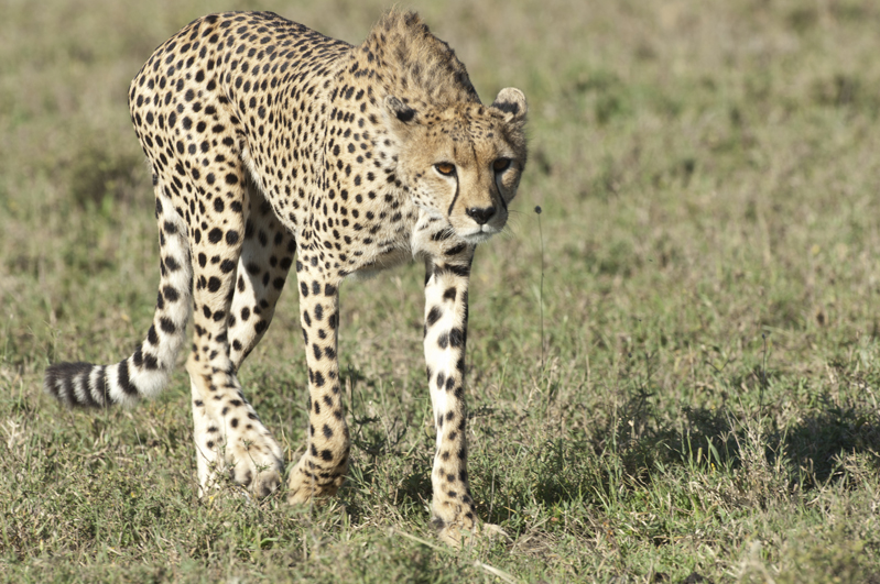 Cheetah Striding Forth 1