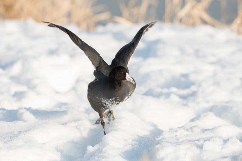 Coot Walking Snow Wings 5