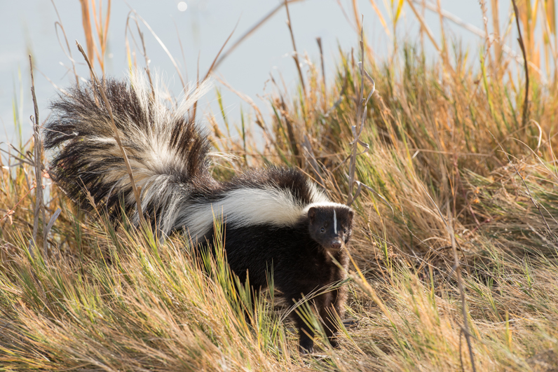 Skunk In Grass 3