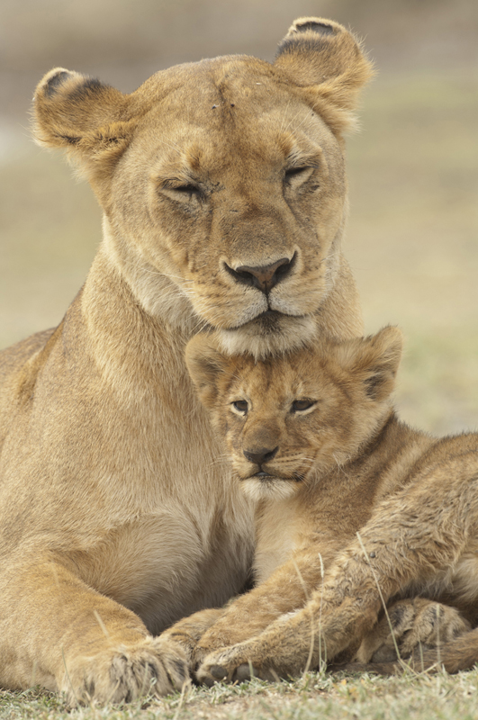 Lion Cub Chin Rest