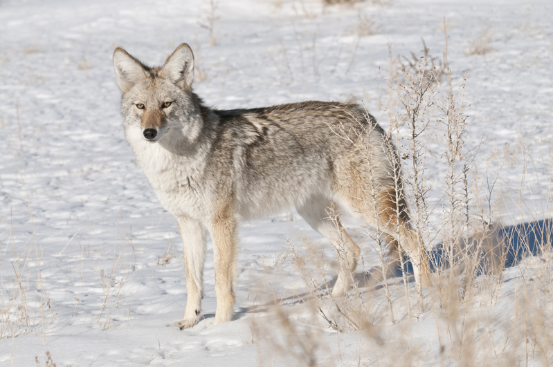 Coyote Snow Stance 7