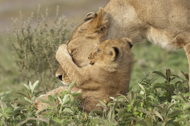 Lion Cub Nose Grab