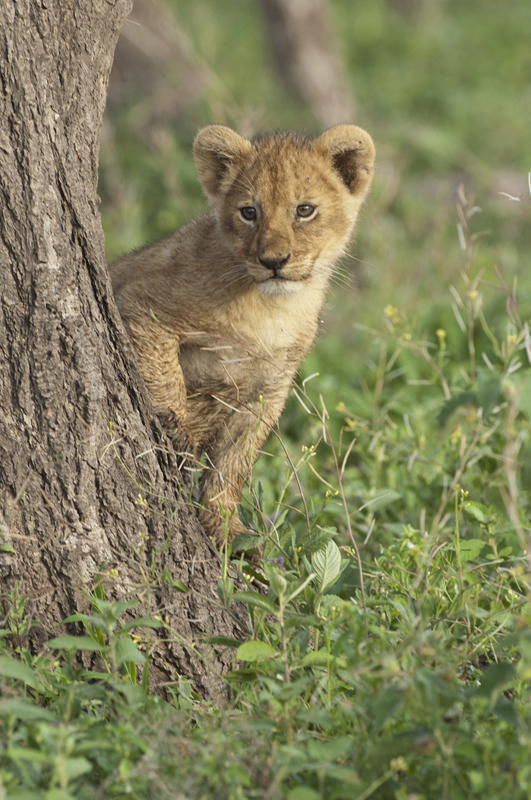 Lion Cub Peering Around Tree 1