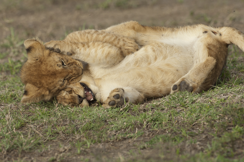 Lion Cub Rolling Tussle 3