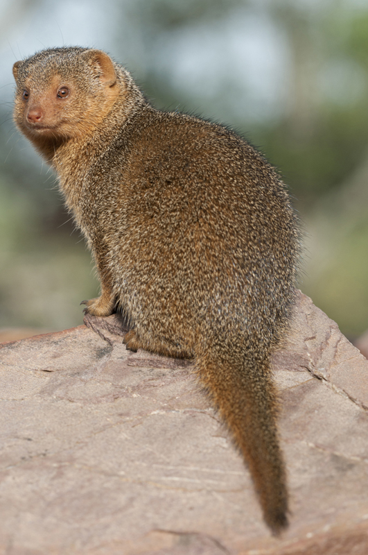Dwarf Mongoose Golden Portrait 2