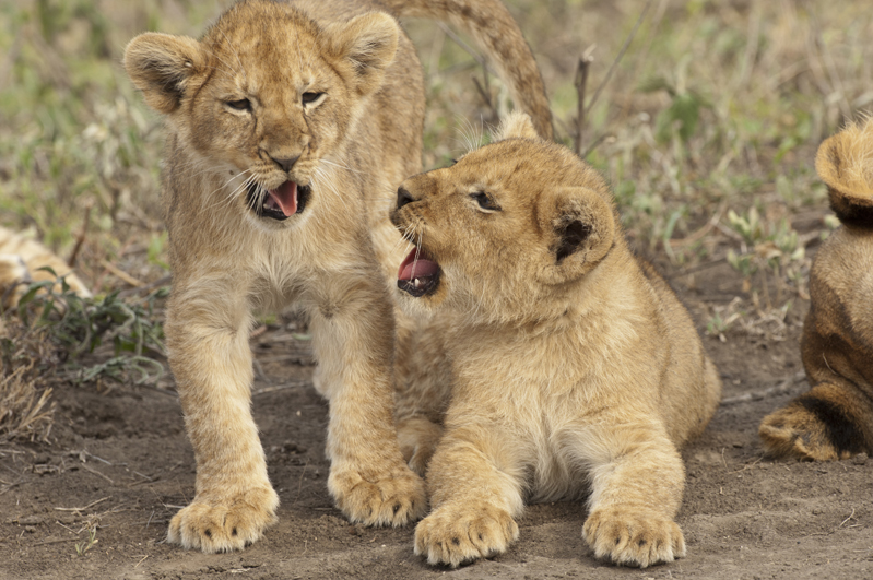 Lion Cubs Faces