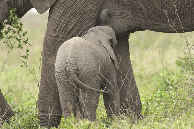 Elephant Calf Nursing 15