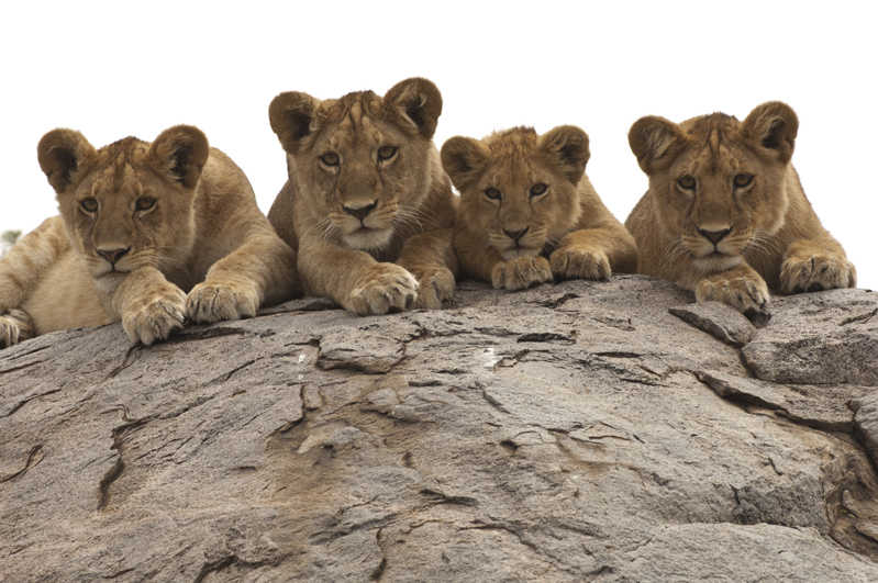 Lion Cubs Kopje Row Four 20
