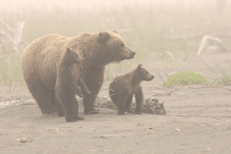Brown Bear Family Fog 1 Final
