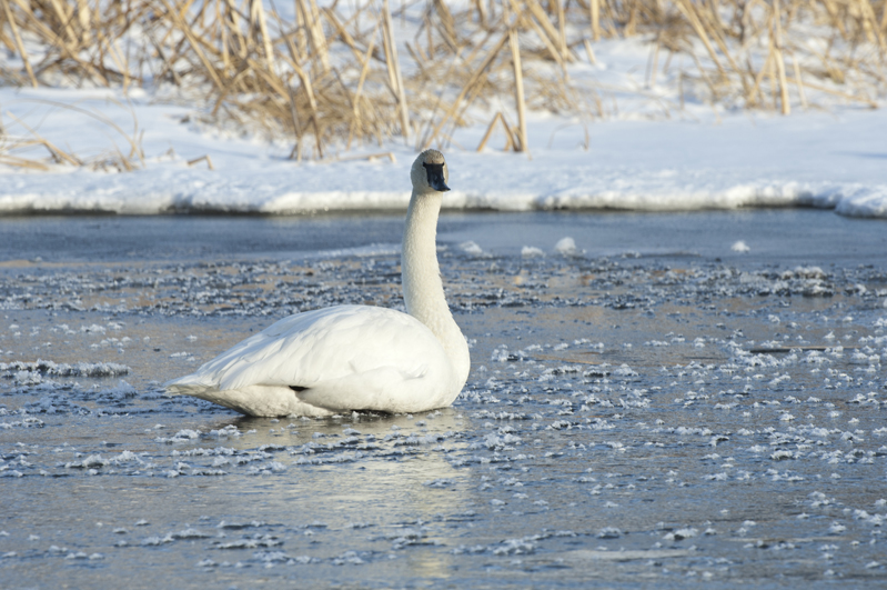 Trumpeter Swan Sitting Ice Cubes 3