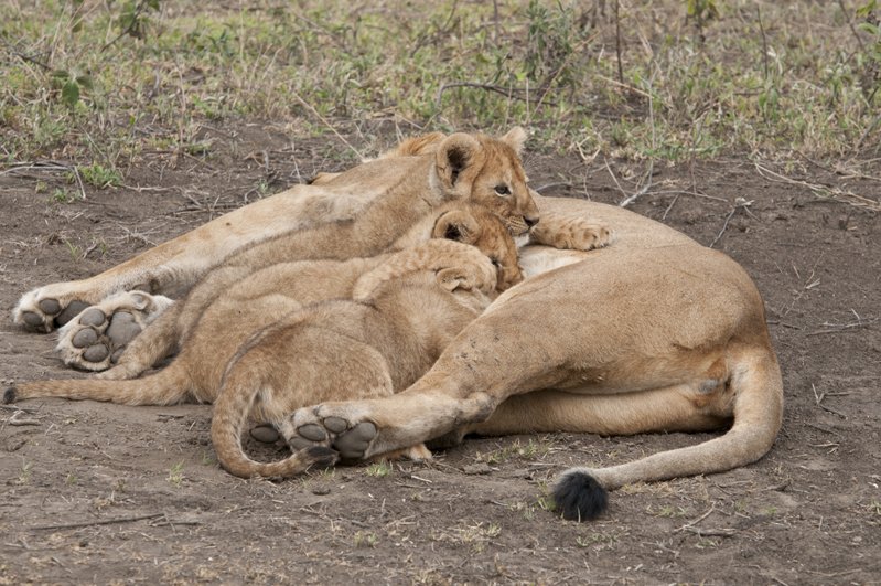 Lion Cubs Nursing Jumble 7