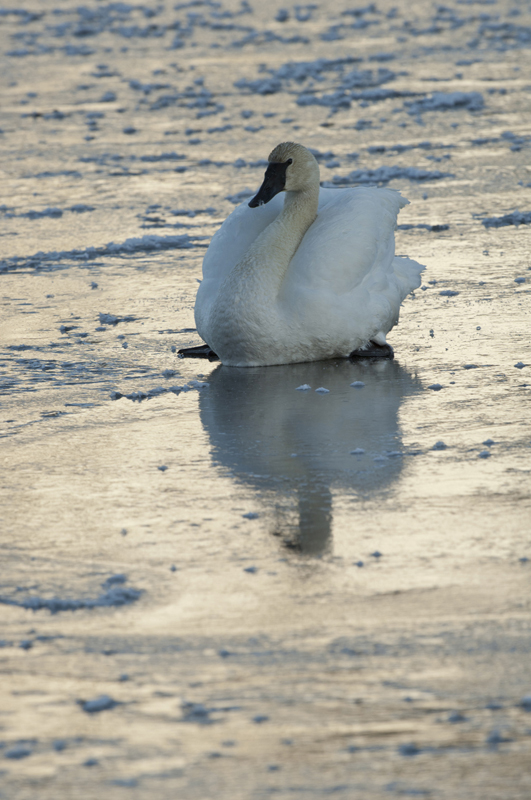Trumpeter Swan Sitting Ice Twilight Neck Curl 4