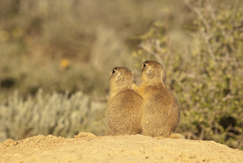 Utah Prairie Dog Brothers 2