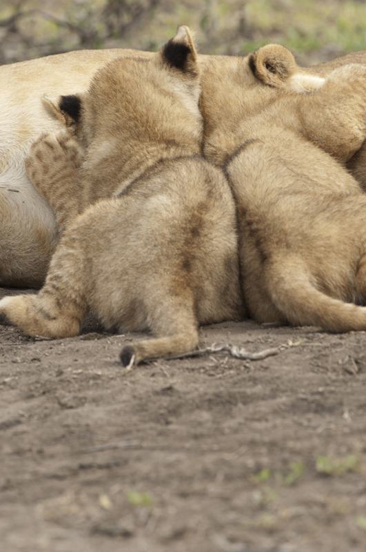 Lion Cubs Nursing Vertical 2