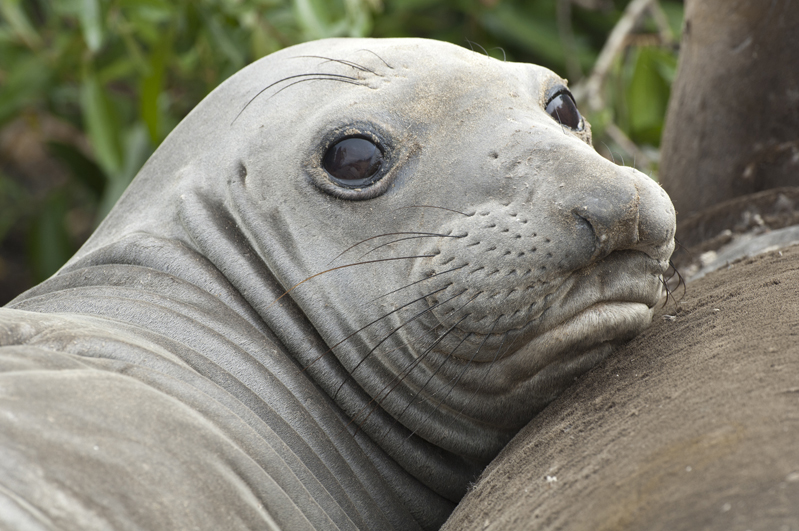 Elephant Seal Adorable 2