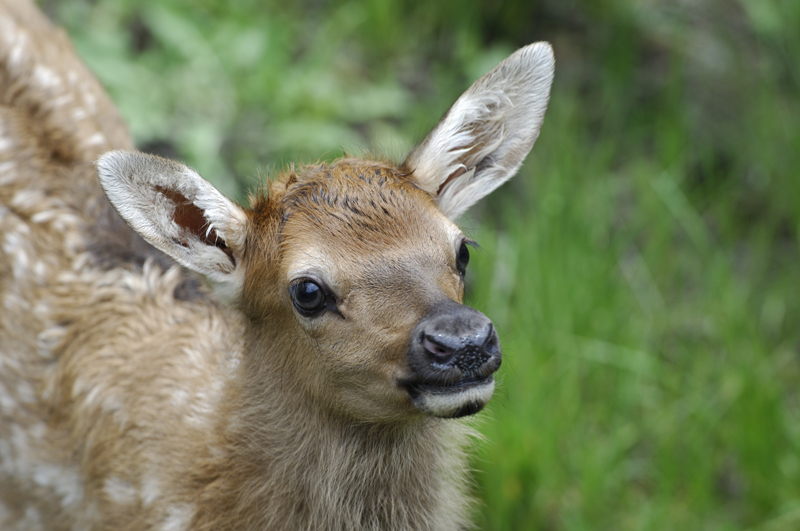 Elk Calf Cute Portrait 1