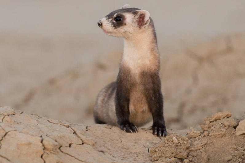 Ferret Burrow Pose Watching 15