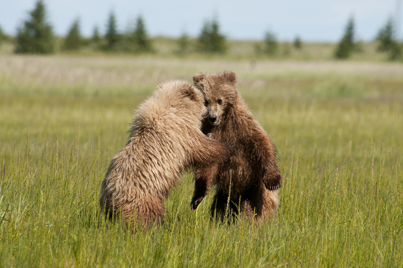 Brown Bear Blonde Yearlings Sparring 13