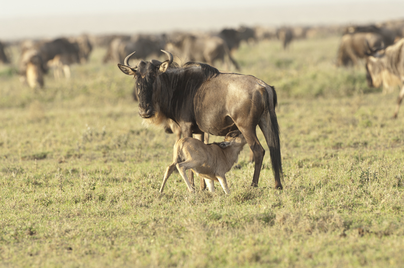 Wildebeest Calf Nursing Away 2