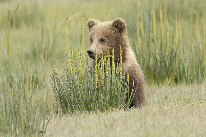 Brown Bear Cub By Grass Clump 4