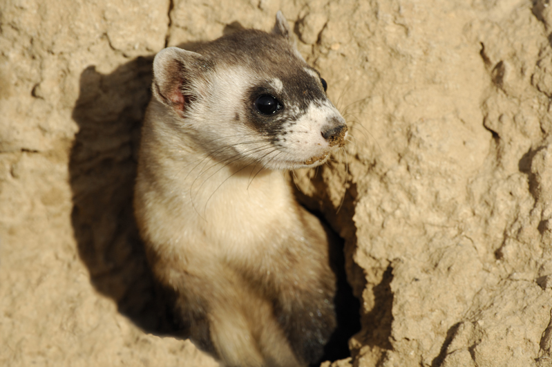 Ferret In Burrow