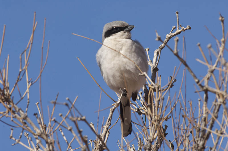 Loggerhead Shrike Perched Horizontal