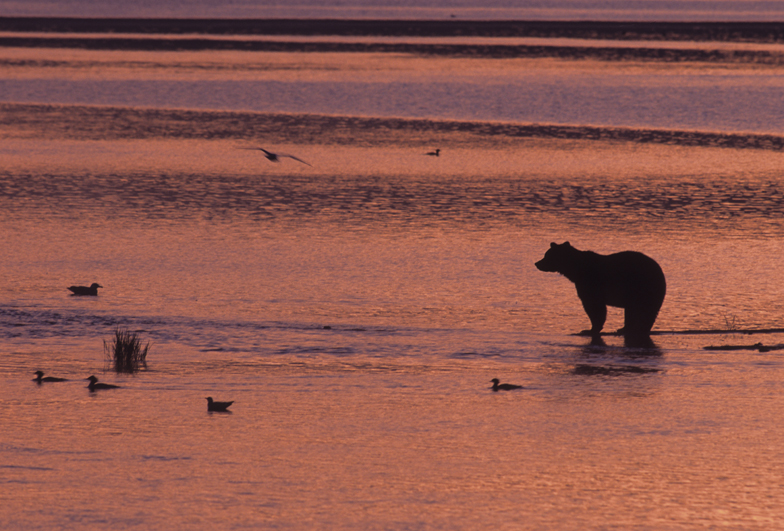 Brown Bear Single Sunset 1