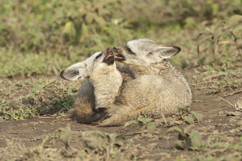 Bat Eared Fox Squabble