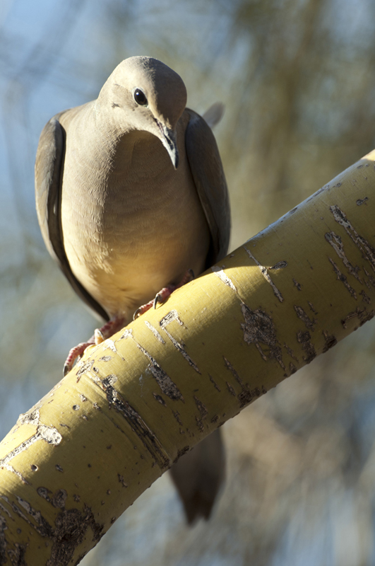 Mourning Dove Peering Down