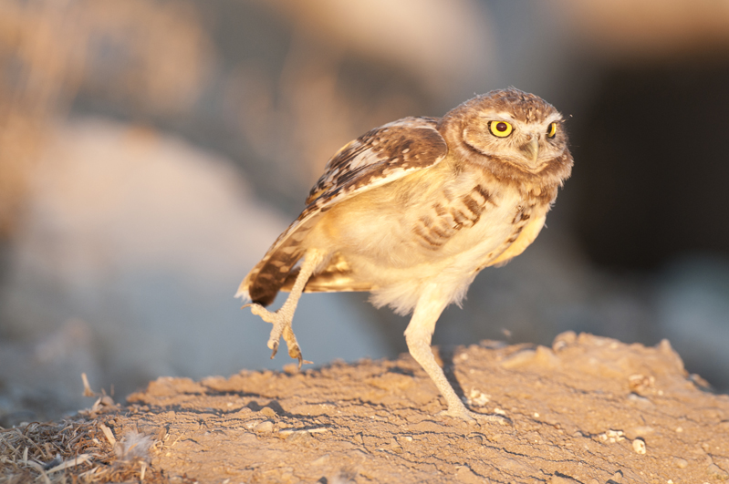 Burrowing Owl Leg Lift 1