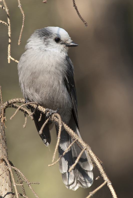 Gray Jay On Limb 2