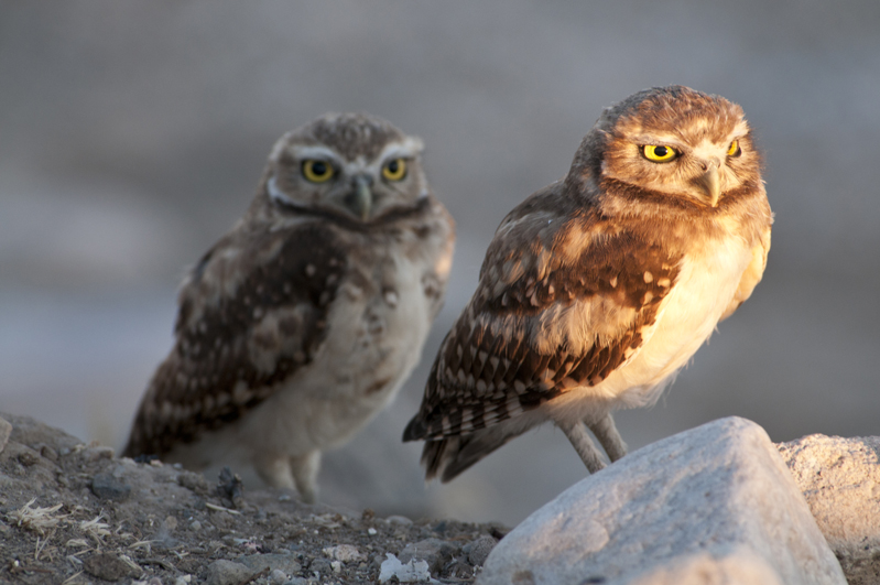Burrowing Owl Mirror Watch 2