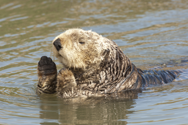 California Sea Otter Prayer