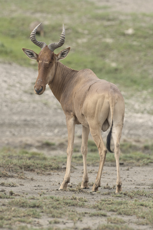 Hartebeest Male Standing Slight Turn Vertical
