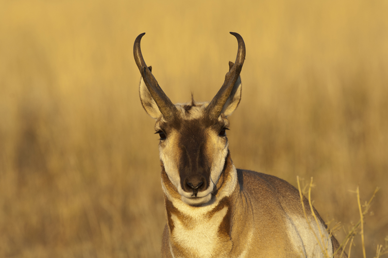Pronghorn Buck Golden Portrait 1