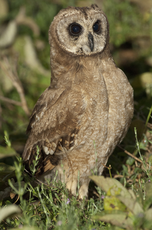 African Marsh Owl Dark 9