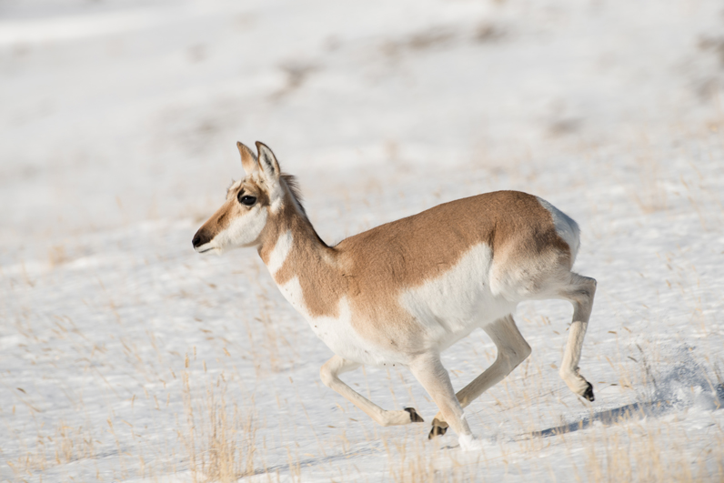 Pronghorn Running Snow Hill 1