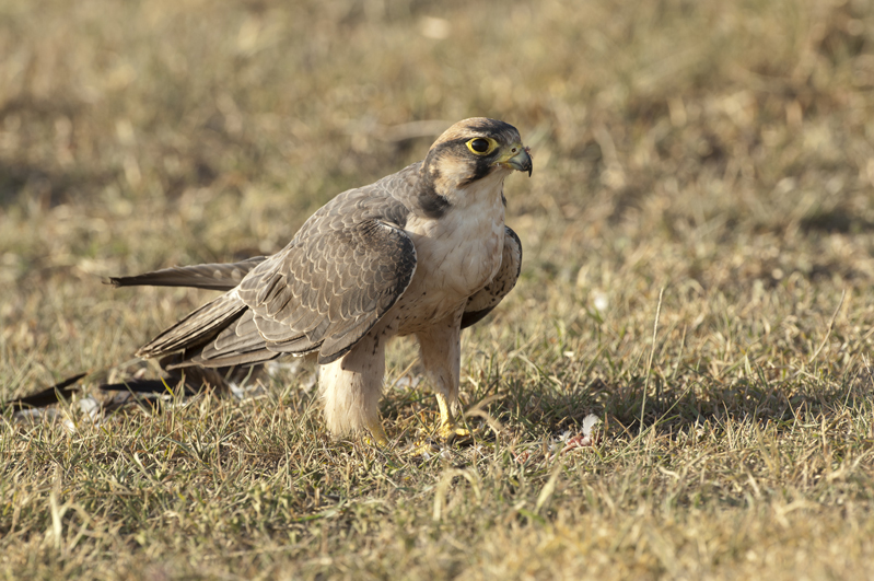 Lanner Falcon On Ground 8