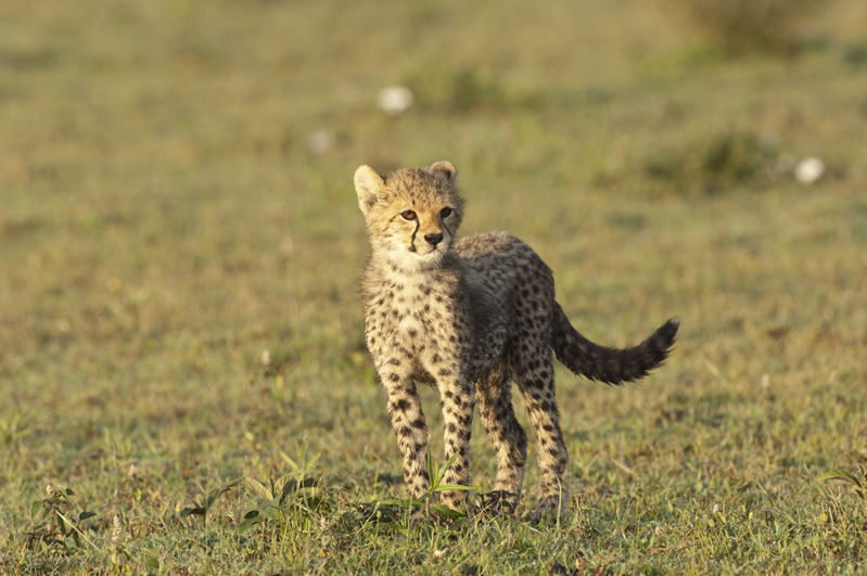 Cheetah Cub Standing Sunlight 3