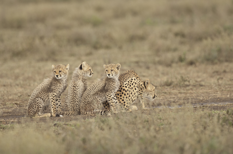 Cheetah Cubs Watch For Drinking Mom