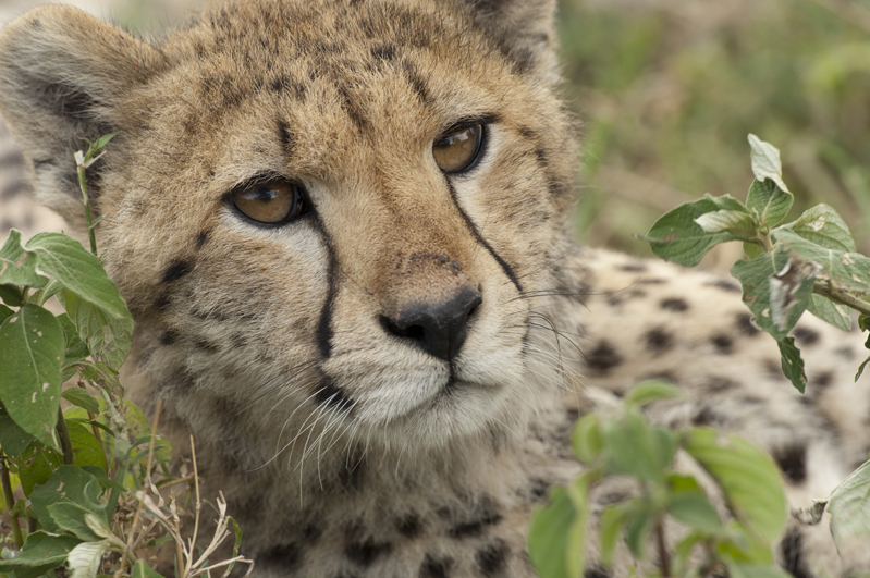 Cheetah Face Closeup 2
