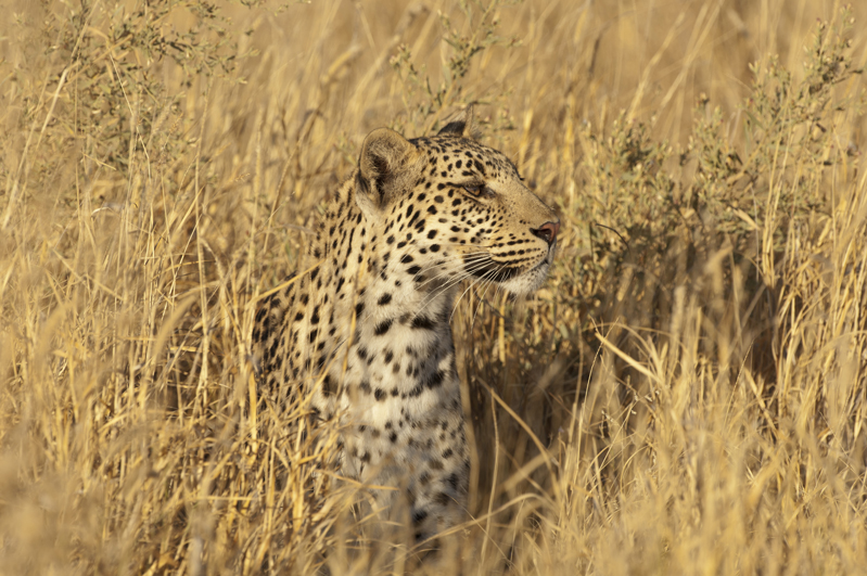 Leopard Peering Golden Grass 5