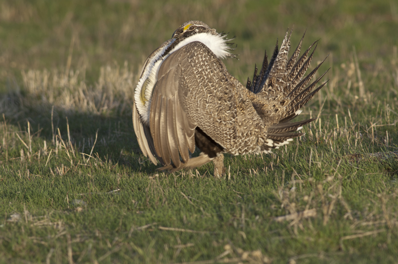 Sage Grouse Marching