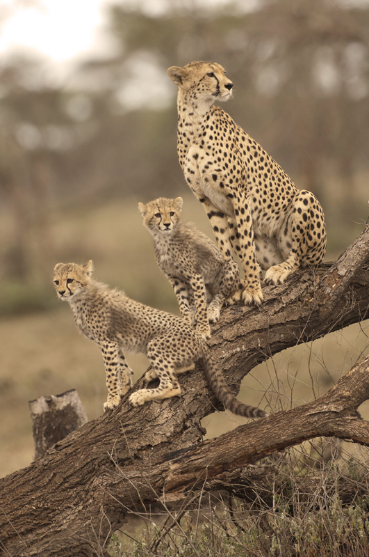 Cheetah Perch 2