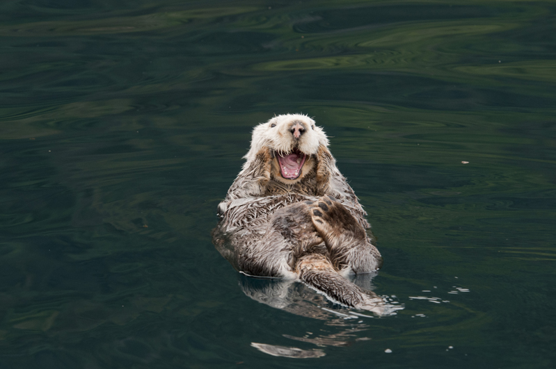 Sea Otter Laugh