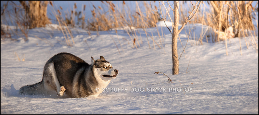 alame_huskies-246-Edit_2.jpg