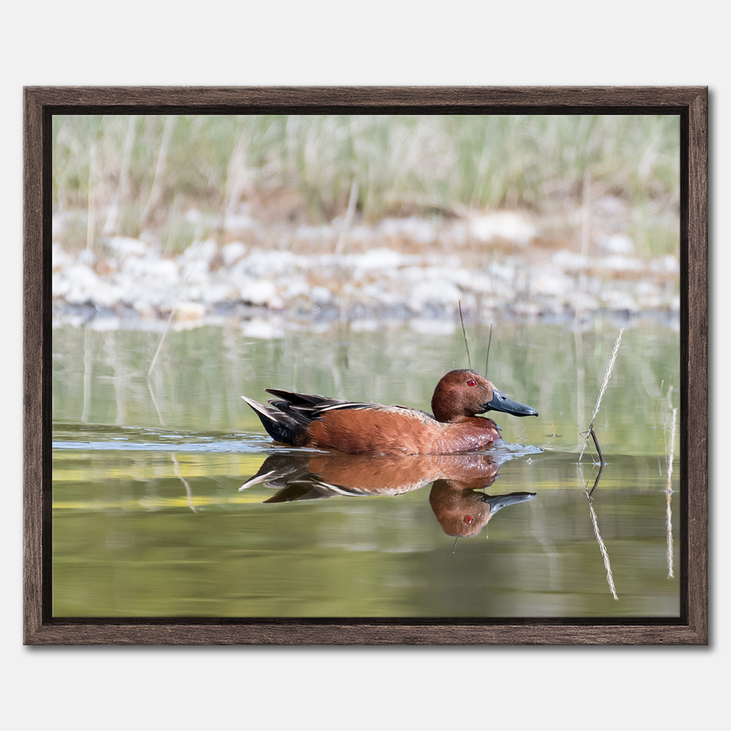 Cinnamon Teal 4345 (Shopify Framed 16x20)