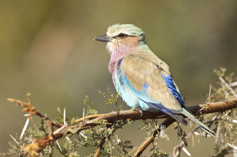 Lilac Breasted Roller Portrait Horizontal 4