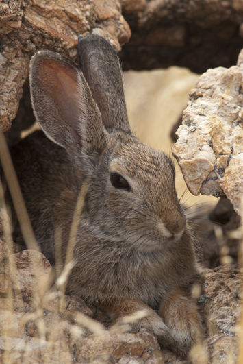 Cottontail Hole In The Rock