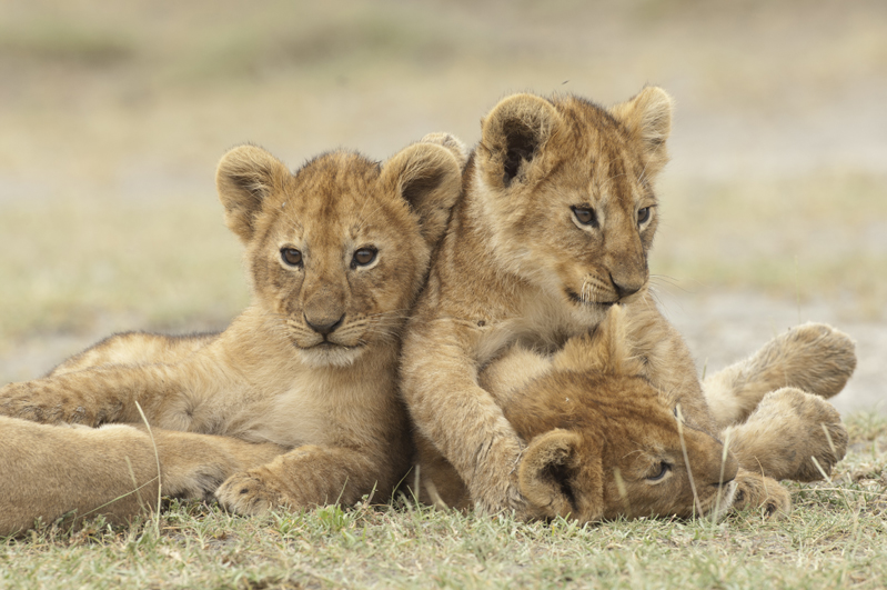 Lion Cub Resting From Wrestling Match 2
